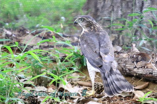 ツミ幼鳥(201506300182)