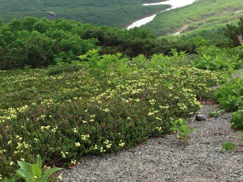 お花松原のアオノツガザクラ