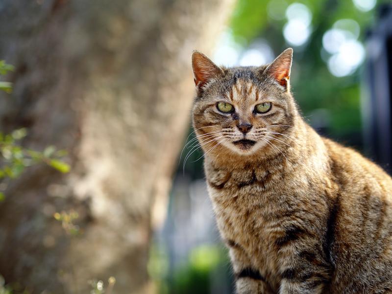 カメラを見ているキジトラ猫元気君