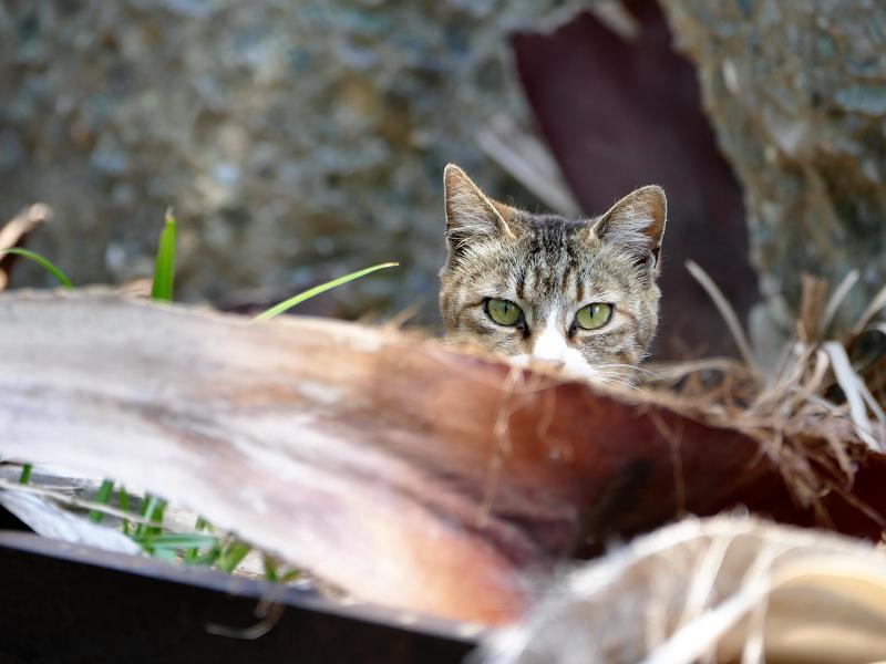 岩場の陰から睨む猫