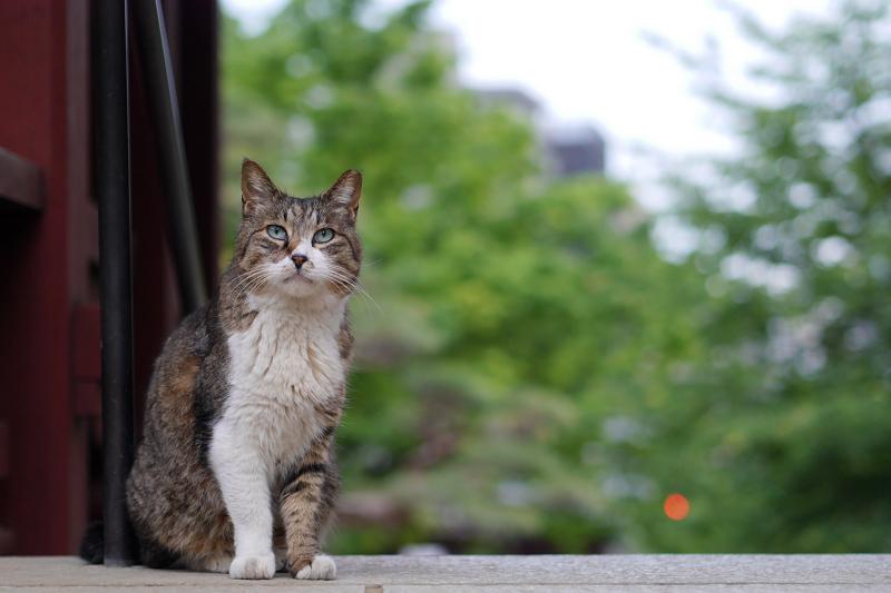 門のバニラ猫