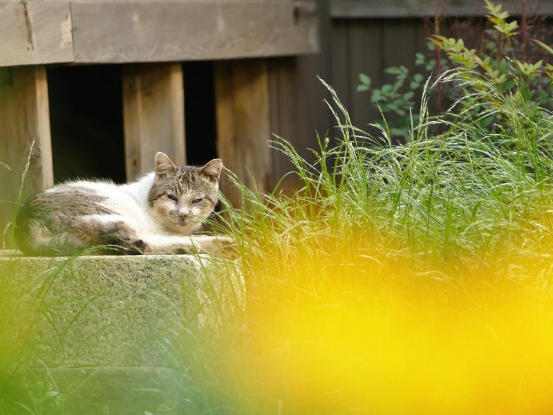 黄色い花越しの猫