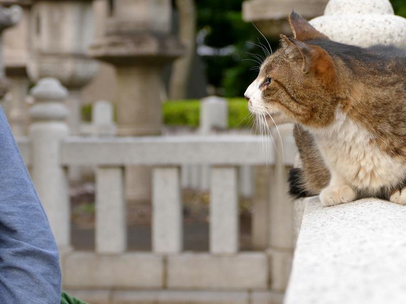 玉垣とキジ白猫1