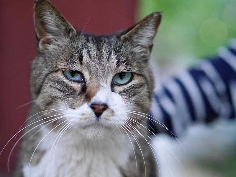 触られるバニラ猫