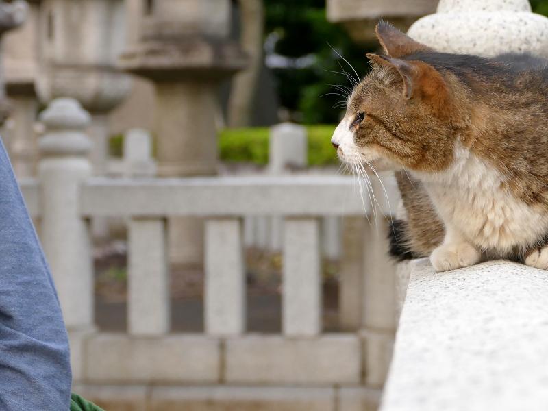 玉垣とキジ白猫2