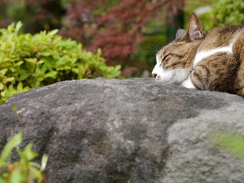 岩の上で寝てる猫