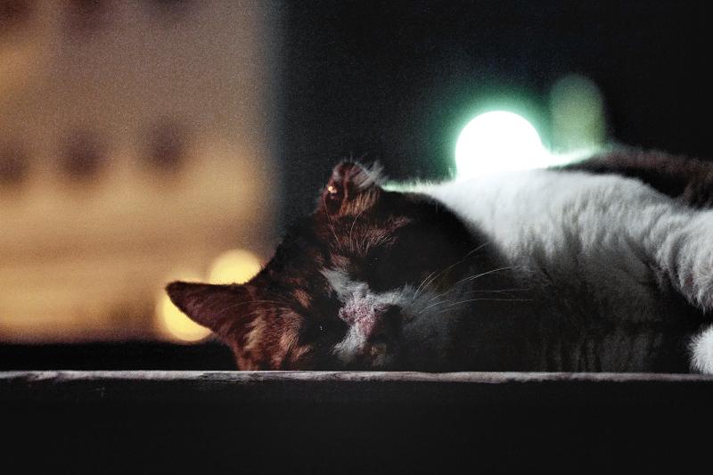 夏の夜のバテ猫2