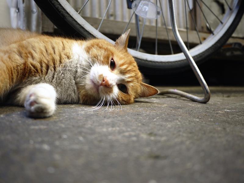 横になってる茶白猫