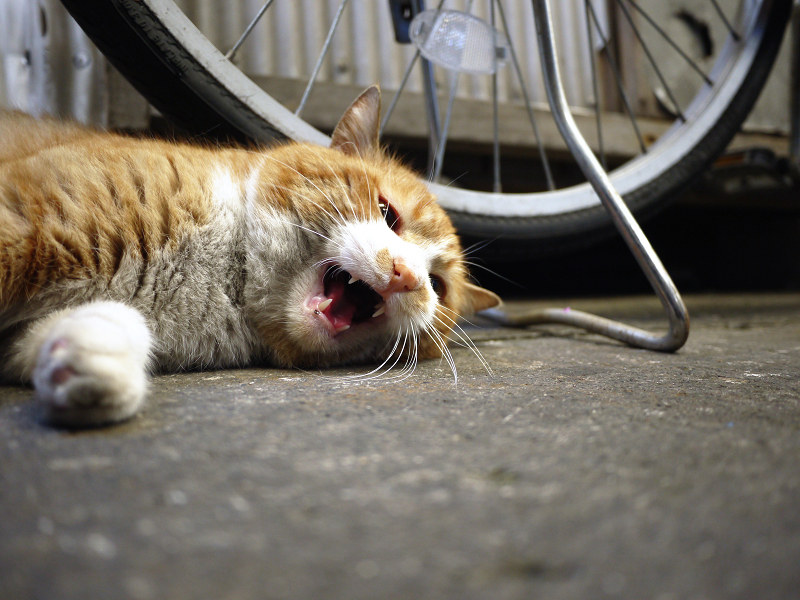横になって鳴く茶白猫