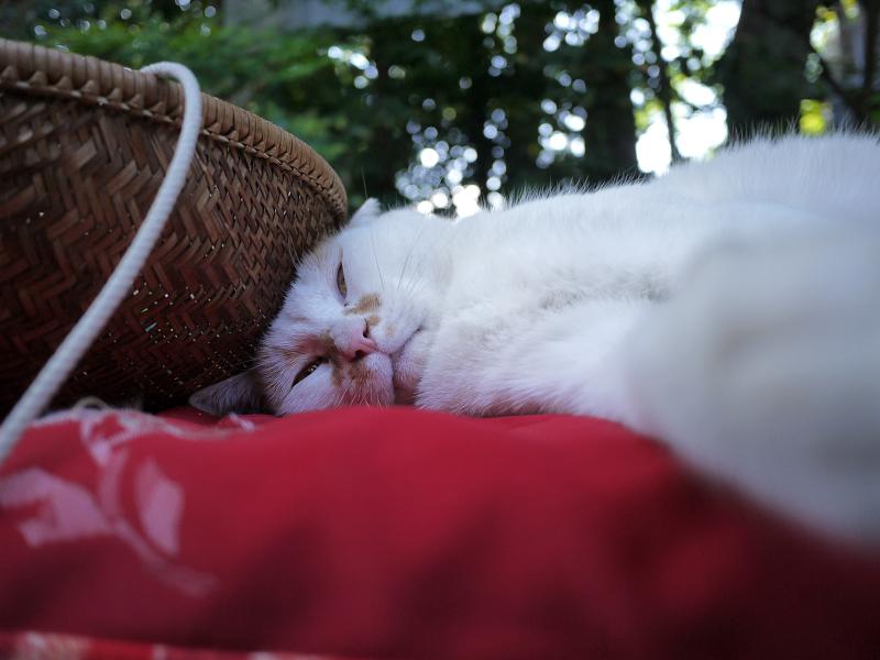 籠に頭をくっつけてる緋毛氈猫
