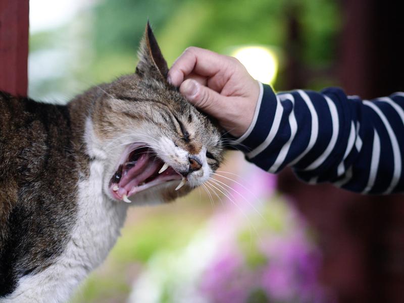 触られながらアクビをする猫