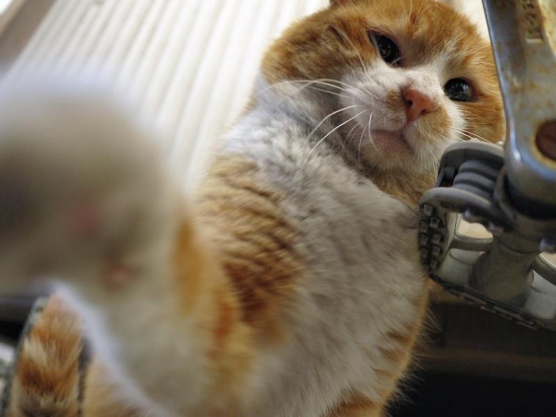 2発目のパンチを出す茶白猫