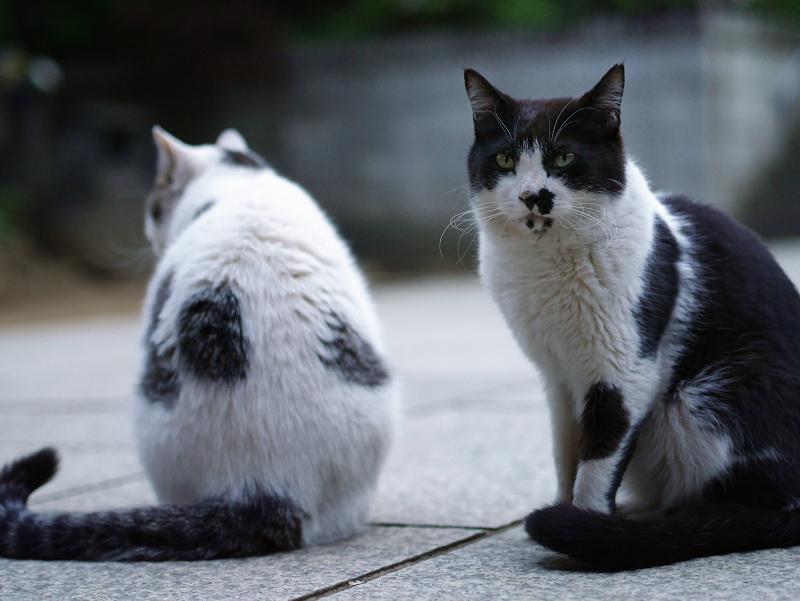 仲良しな若猫仔猫の猫
