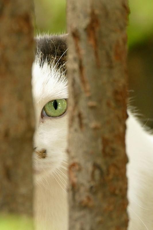 木の間から睨む猫1