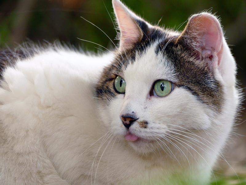 ベロ出し猫のビックリ顔