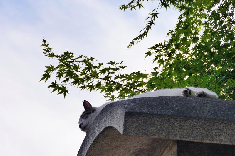 石柱の笠の上で寝てる猫1