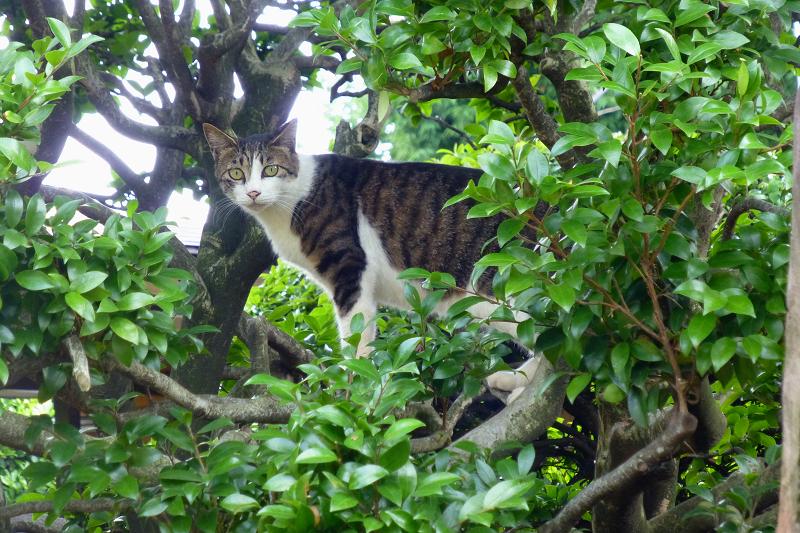 低い木の登る猫