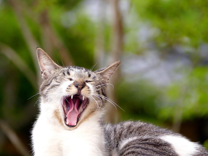 大口を開けてアクビをする猫