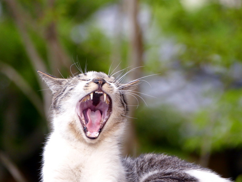 大口で開けてアクビをする猫