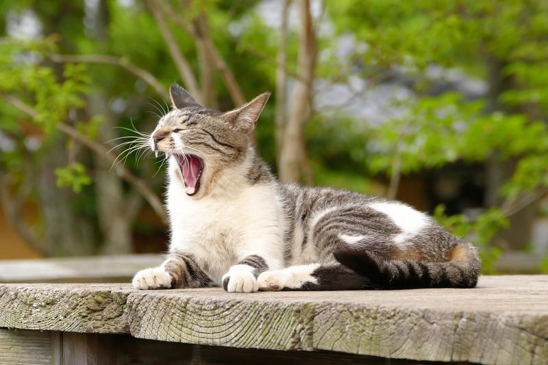 廻り縁で大あくびする猫