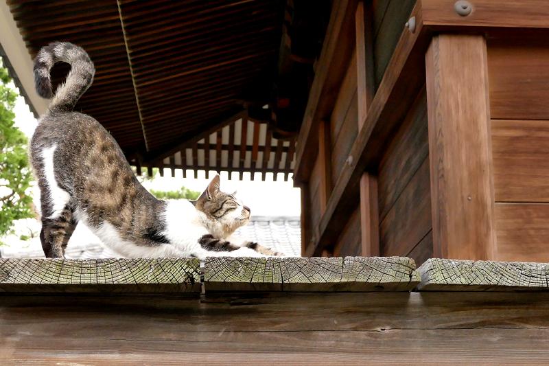 濡れ縁で前伸びをする猫の尻尾
