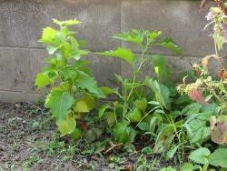 鬼灯20150730-庭植え