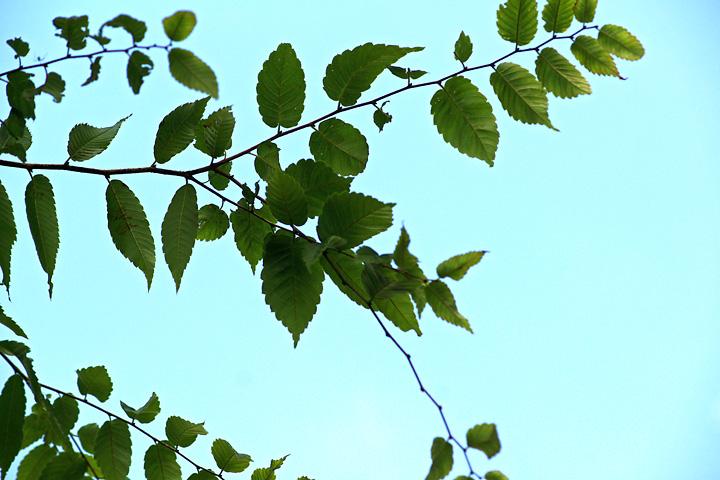 ケヤキの葉、はぁ