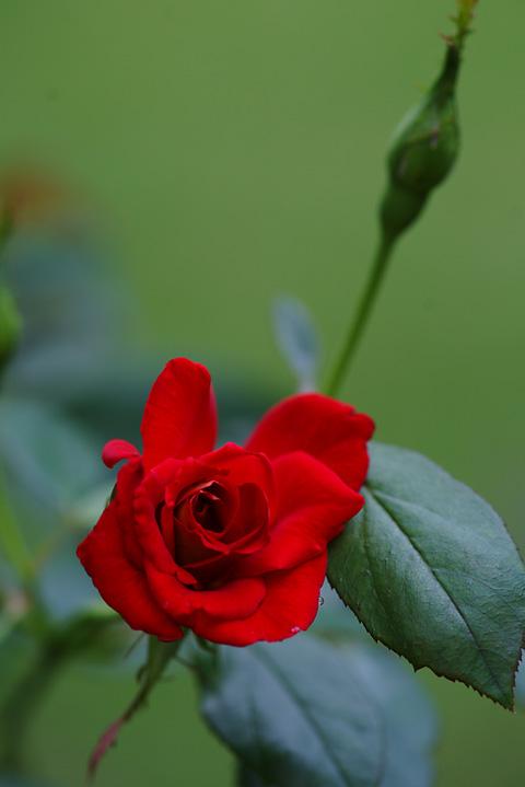 バラが咲いたぜ