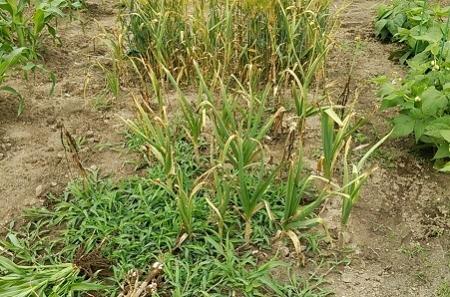 ニンニク収穫時期