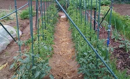 トマト栽培 全景