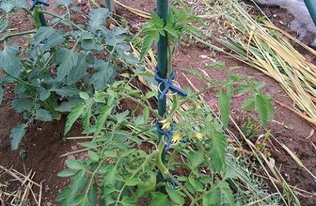 トマト栽培 大玉 樹勢最弱