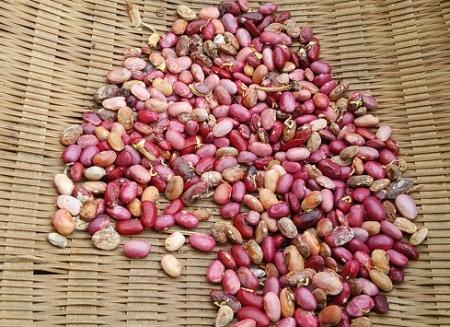 金時インゲン 収穫の全部