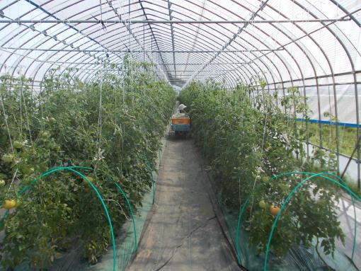 20150803_トマト収穫中
