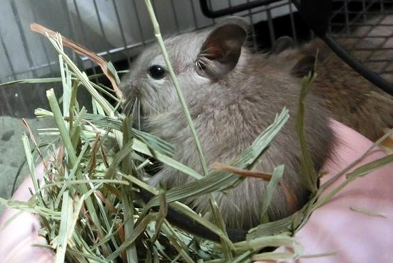 デグー牧草食べてる