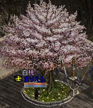 0716桜