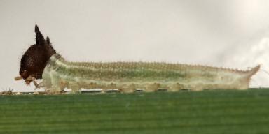 384-コジャノメ幼虫6mm-2015-06-03-OMD04233