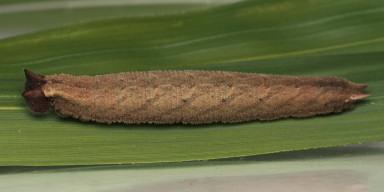 384-コジャノメ幼虫33mm-2015-06-26-OMD06562