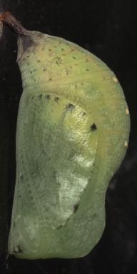 384-コジャノメ蛹15mm(側面)-2015-06-29-OMD07018