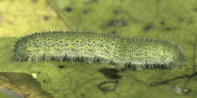 384-スジグロシロチョウ幼虫20mm-2015-06-17-OMD05034