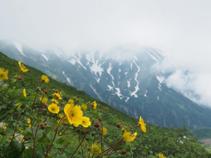 シナノキンバイ・雪倉岳-OMD08891