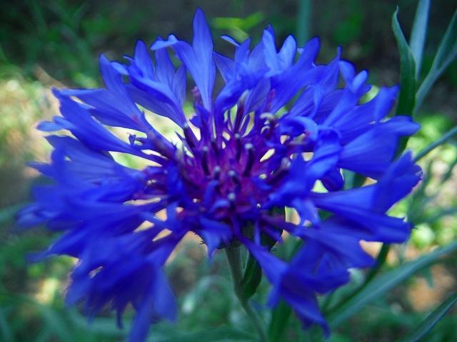 青い矢車草DSCF5664-200