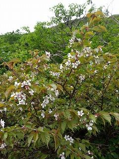 斜里岳桜7月