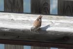 snow finch