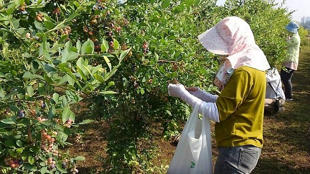 ブルーベリー収穫