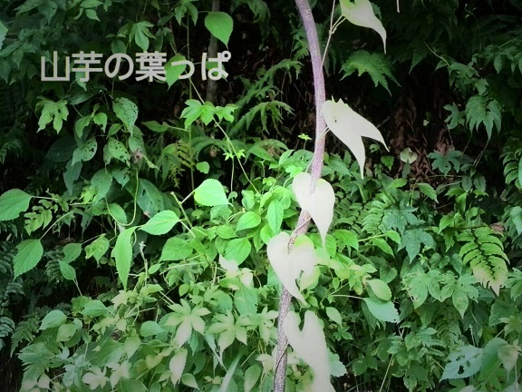 山芋の葉っぱ