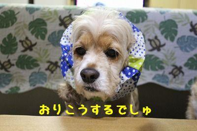 ぽん太9歳 (6)