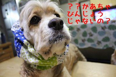 ぽん太9歳 (11)