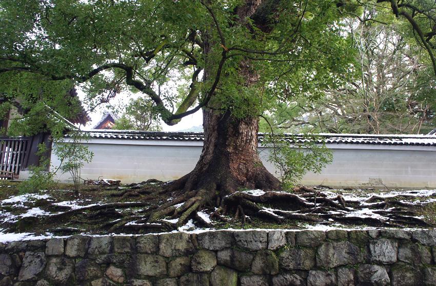 くすの木(京都)02