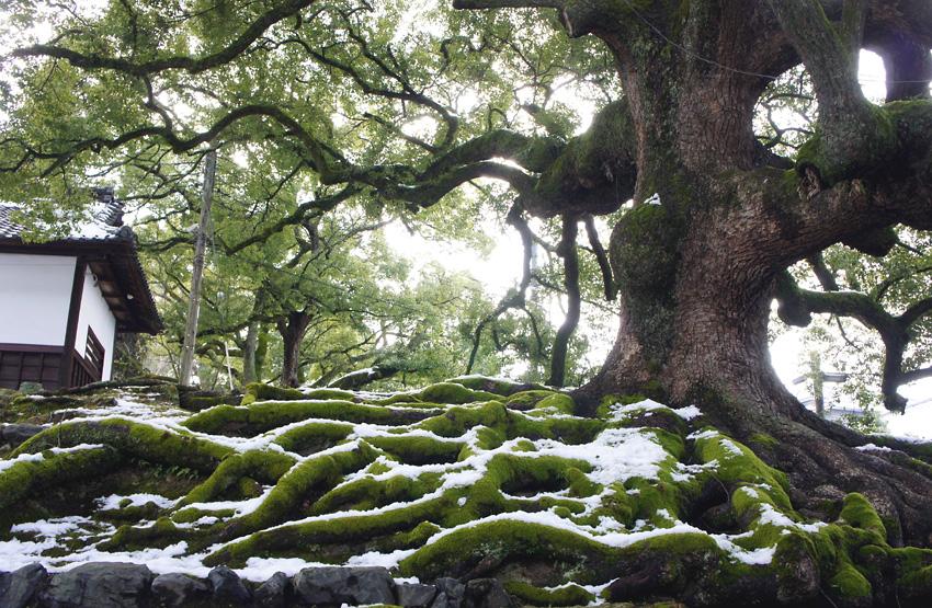 くすの木(京都)01