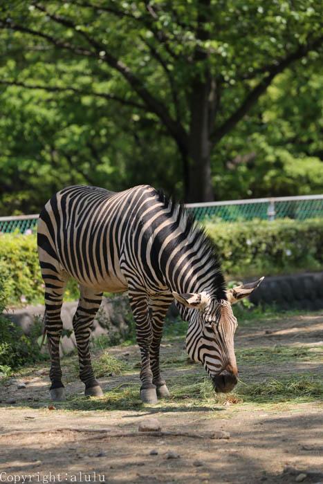 動物園 シマウマ